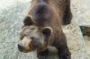 В саранском зоопарке медведь царапнул иностранную туристку, – СМИ