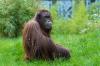 Самого старого орангутана в мире усыпили ветеринары