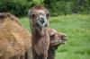 Негостеприимный верблюд цапнул омичку на «Страусиной ферме»