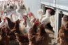 В администрации Новокузнецка руководство птицефабрик вдыхало ароматы помета
