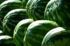 Оренбуржье заняло первое место в РФ по посевам бахчевых культур