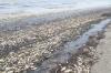 Общественники назвали вероятные причины массовой гибели рыбы на Сахалине