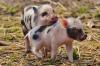 На новгородском мясокомбинате выявлен вирус африканской чумы свиней