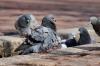 Немецких голубей не пустили в Псковскую область