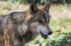 Из-за нападения волка жительница Петербурга может лишиться руки