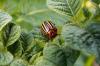 Колорадские жуки вновь атаковали Коми