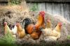 В Подмосковье произвели свыше 100 тысяч тонн мяса птицы