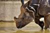 Назван способ воскресить вымерших белых носорогов
