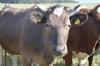 Коровы забодали троих детей в Башкирии