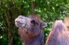 Полицейские ЮФО пересядут на ослов и верблюдов