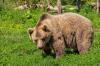 Югорские егеря застрелили 17 опасных для людей медведей
