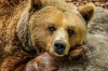 В Томской области медведь-убийца нападает на скот