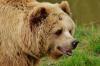 В Кузбассе разрешили отстрел медведей: хищники снова выходят к людям