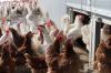 В двух районах Удмуртии выявили птичий грипп
