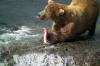 На Камчатке медведь убил сотрудника заповедника