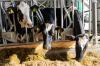 Коровы из Дании прижились в Сахалинской области