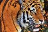 В магнитогорском цирке прокомментировали «избиение» тигра