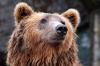 Ученые наблюдают небывалую активность карельских медведей