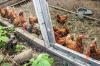Марийский бизнесмен привез зараженных кур в Удмуртию