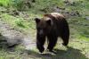 «Беги, Форрест, беги». Американский охотник оставил друга на растерзание медведю
