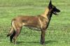 Девятилетнюю девочку загрыз бельгийский пес