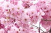 Неожиданное цветение сакуры заметили в Японии