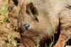 Суровая свинья растерзала фермера
