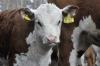 Фургал пообещал поддержку хабаровским коровам