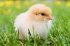 На одной из донских птицефабрик обнаружен птичий грипп