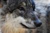 Волки снова начали вплотную подходить к населенным пунктам Кировской области