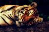 Состояние тигра в реабилитационном центре «Утес» резко ухудшилось