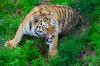 Африканская чума свиней угрожает популяции уссурийских тигров