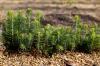 Объемы лесовосстановления выросли в Красноярском крае