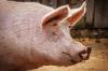 Суд заставил «Ариант» платить штраф за незаконную добычу воды для свиней