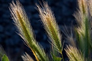 Минсельхоз прогнозирует экспорт зерна в 2018 году