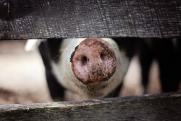 Чумной июль. Почему в Россию вернулся свиной вирус?