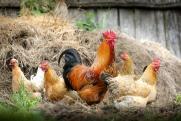 Убытки «Евродона» из-за вспышки птичьего гриппа пока неизвестны
