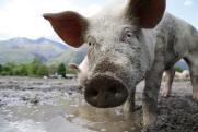 Компании, которые строят свинокомплексы по 5–6 лет, неэффективны. Что ждет проекты «Арианта»?