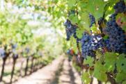 Урожайность винограда может снизиться из-за жары на юге России