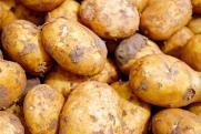 В Мурманской области нашли опасный картофель
