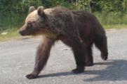 Сургутским хантам грозит срок за убийство трех медведей-шатунов