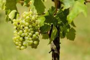 На Кубани собрали более 200 тыс. тонн винограда