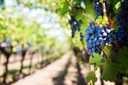 Сажать виноград можно, а винодельни строить нельзя. Севастополь встал на «винную дорогу»