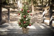«Из-за спроса на новогодние елки идут хищнические вырубки»