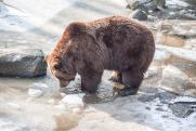 Полиция Приангарья проведет проверку из-за охоты Сергея Левченко на медведя