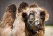 В Приангарье спасли циркового верблюда, оказавшегося на трассе в 45-градусный мороз