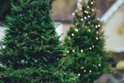 «Красивые новогодние елки в лесах не растут»