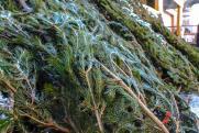 «Елку – на переработку». ОНФ предлагает открыть пункты по утилизации новогодних деревьев