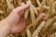 «Если мировой урожай будет дефицитным, это вызовет резкий взлет цены на хлеб в России»