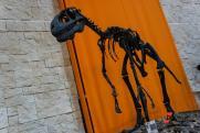 Обнаружены останки взрослого тираннозавра, чей рост не превышал метра